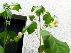 オーガニックコットンの花です
