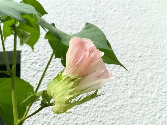 オーガニックコットンの花です。アップでみるとこんな感じ